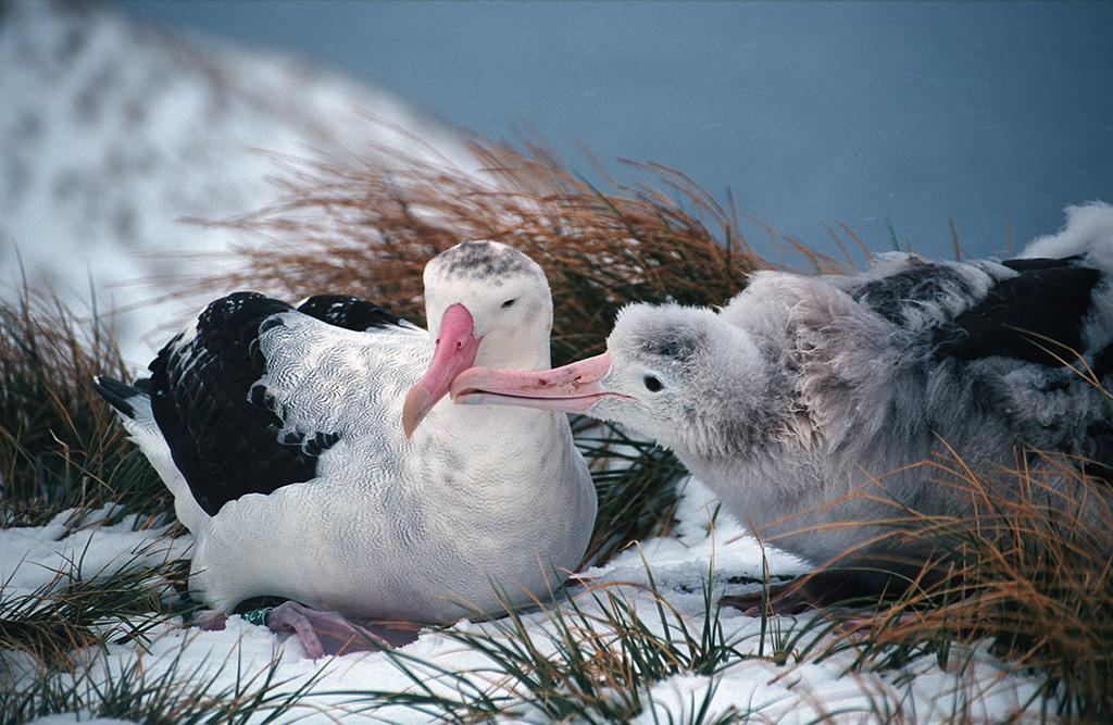Wandering albatross and chick