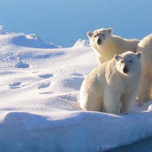 Three polar bears on the edge of a small iceberg