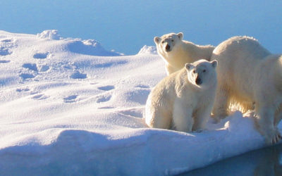 Polar BEar and cubs seen from RRS James Clark Ross during an Arctic science cruise