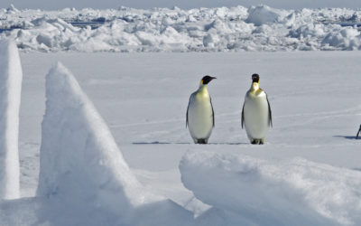Emperor Penguins on the sea ice in the Weddell Sea