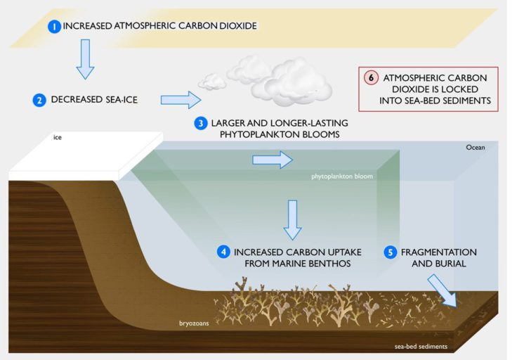 Carbon immobilization in the Antarctic