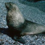 Fur Seal bull (Arctocephalus gazella)