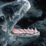 Leopard Seal pup (Hydrurga leptonyx) showing teeth. These seals are solitary and little is known about their behavior or breeding biology. Despite being regarded as ruthless predators of penguins and other seals the main component of their diet is actually krill.
