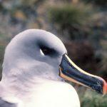 grey headed Albatross on a nest at Bird Island