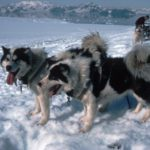 Huskies in a trace about to pull a sledge during their last season in Antarctica, Reptile Ridge, Adelaide Isalnd.