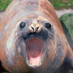 Elephant seal on South Georgia