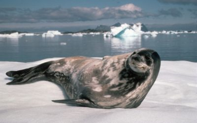 Weddell seal (Leptonychotes weddellii) looking up from the ice floe it is resting on
