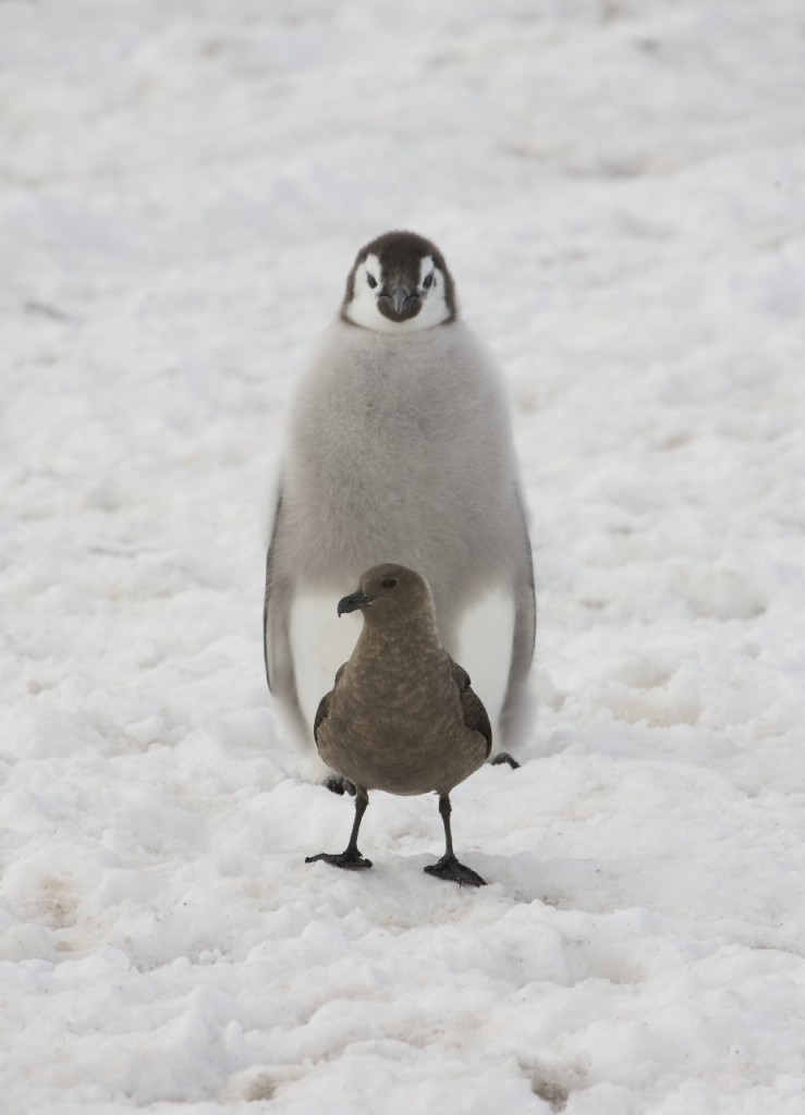 Emperor penguin chick (Aptenodytes forsteri) eyeing up an Antarctic Skua (Catharacta antarctica) near the windy bay penguin colony