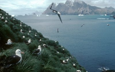 Black-browed Albatross colony (Thalassarche melanophrys) at Colony Q1 on Bird Island. Black-browed Albatrosses feed on Krill, fish and squid and tend to forage around the edge of the continental shelf of South Georgia.