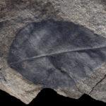A leaf from a small shrubby plant (Gnafalea jeffersonii) from Alexander Island. (Scale bar = 1 cm)