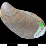A type of bivalve (Buchia blanfordiana) from Alexander Island. (Scale bar = 1 cm)