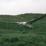 A bird standing on a lush green field.