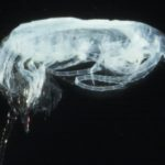 The copepod Calanoides acutus in the process of moulting from stage CIV to CV.
