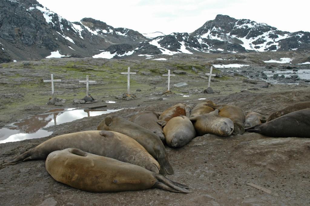 Elephant seals (Mirounga leonina) at Cemetery Flats, Signy Island, January 2009.