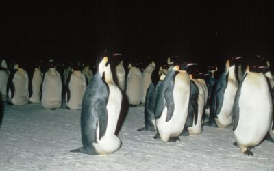 Emperor Penguin Colony during winter.(Aptenodytes forsteri)