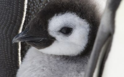 Emperor penguin chick (Aptenodytes forsteri) on the sea ice close to Halley Research Station on the Brunt Ice Shelf.