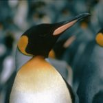 A close up of a penguin.