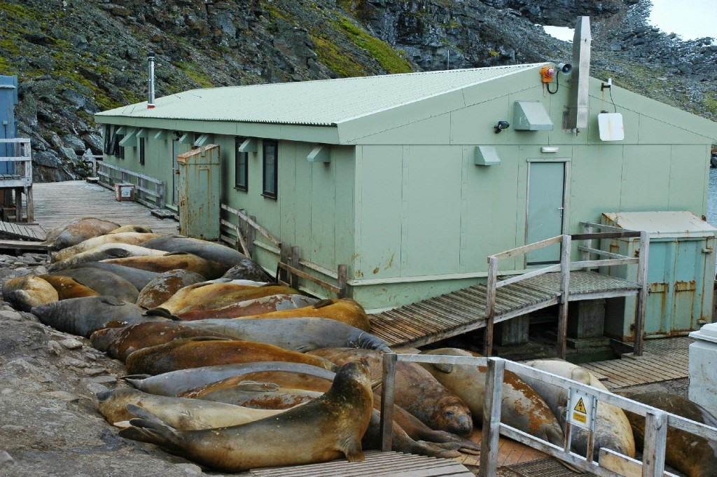 Elephant seals (Mirounga leonina) behind the main building at Signy Research Station