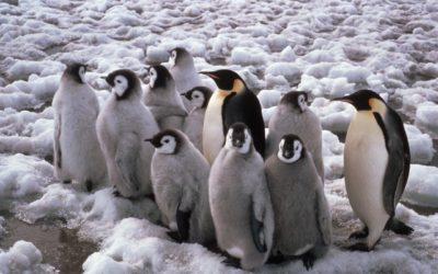 Adult Emperor Penguin (Aptenodytes forsteri) with Chicks creching