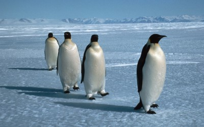 Emperor penguins (Aptenodytes forsteri) walking in a line over sea ice