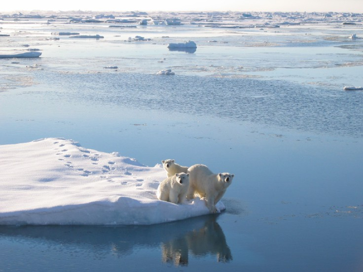 Polar Bear (Ursus maritimus) with cubs seen from the James Clark Ross.