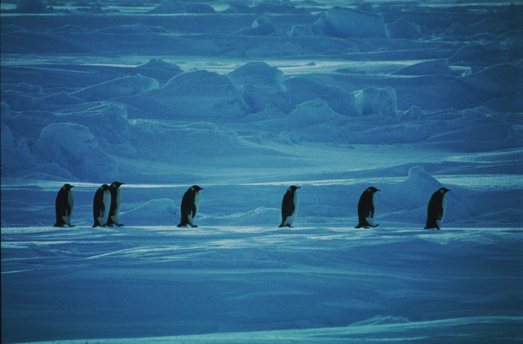 Emperor penguins crossing sea ice