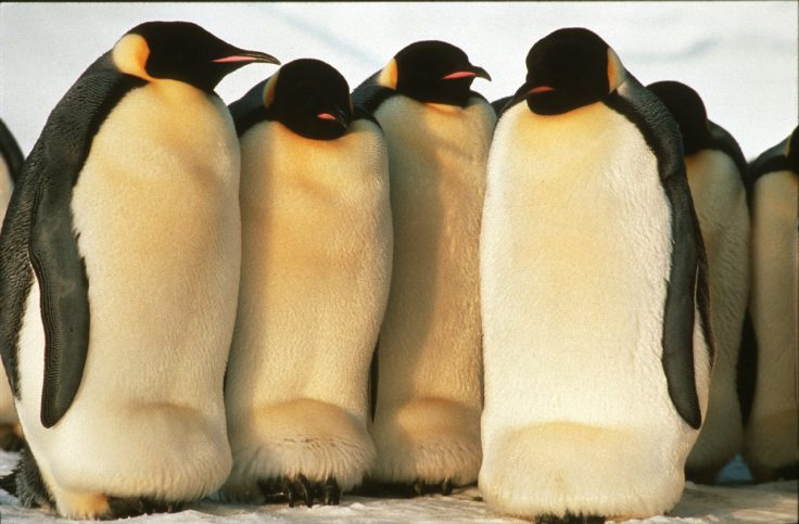 Emperor Penguin Colony (Aptenodytes fosteri).  Emperor penguins (Aptenodytes forsteri) breed at high latitudes on sea ice during the Antarctic winter.