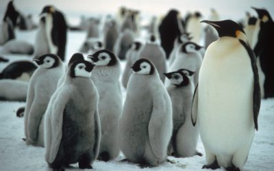 Emperor Penguins with Chicks. Emperor penguins (Aptenodytes forsteri) breed at high latitudes on sea ice during the Antarctic winter.