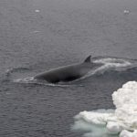 Minke whales (Balaenoptera acutorostrata) off RRS James Clark Ross on JR179 in the Amundsen Sea.