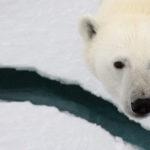A polar bear looking at the camera.