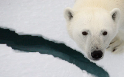 A polar bear looking at the camera.