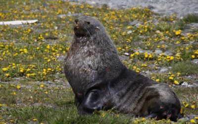 A seal lying in the grass.