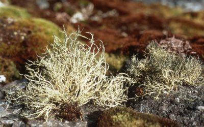 Lichen Usnea antarctica on stones amongst mosses (Chorisodontium aciphyllum, green, and Andreaea depressinervis, brown)