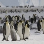 Emperor penguins (Aptenodytes forsteri) on the sea ice close to Halley Research Station on the Brunt Ice Shelf.