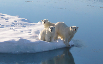 Three polar bears on the edge of a small iceberg
