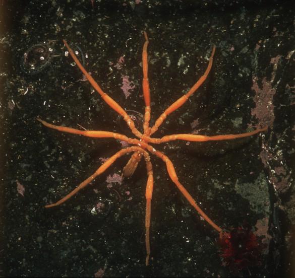 Sea Spider1