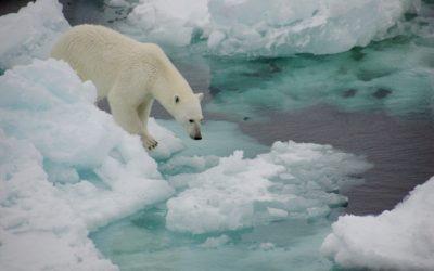 A polar bear in the snow.