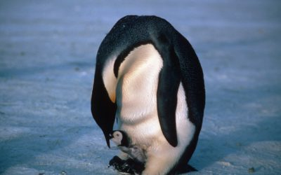 Emperor Penguin feeding chick. Emperor penguins (Aptenodytes forsteri) breed at high latitudes on sea ice during the Antarctic winter.