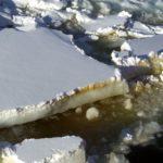 Algal layer in sea-ice
