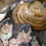 Ammonites (preserved with original aragonitic shell) and Lahillia bivalve, Cretaceous–Paleogene transition, Seymour Island, Antarctica.