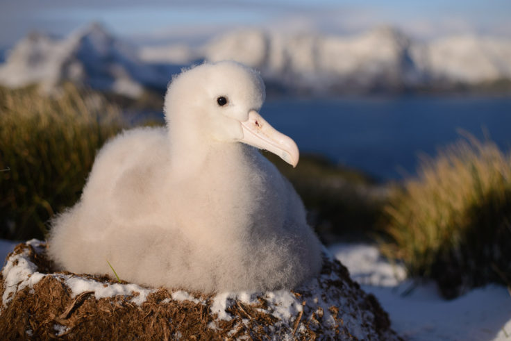 Wandering albatross chick sits on its nest on Bird Island, South Georgia