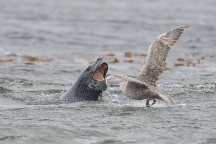 A leopard seal and a giant petrel fighting over food