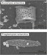 Micrograph of two southern ocean diatoms extracted from the Ferrigno ice core