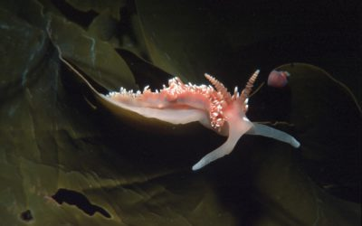 Antarctic sea-slug (nudibranch) on kelp, 23 metres water depth, no sea ice