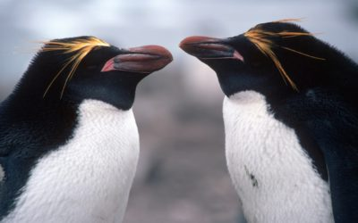 Pair of Macaroni Penguins (Eudyptes chrysolophus) The larger and thicker bill of the bird on the left indicateds it is a male.