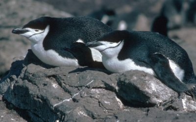A bird sitting on top of a penguin.