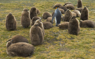 King penguin chicks (Aptenodytes patagonicus) at Volunteer Point, Falkland Islands.
