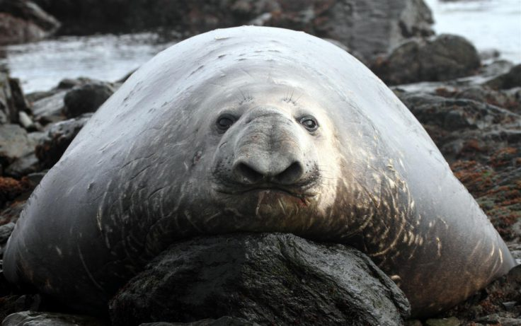 Elephant seal - a funny face amongst the flab! (Siân Tarrant)