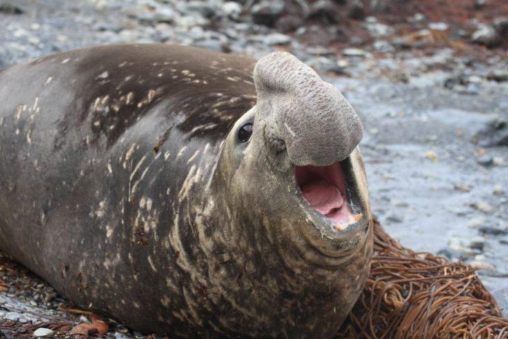Male Elephant seal bellowing on Bird Island