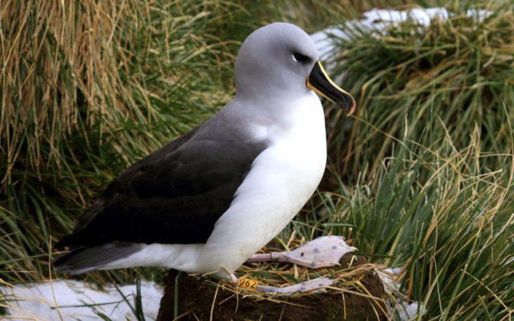 Grey head returns to its nest, awaiting a partner (Sian Tarrant)